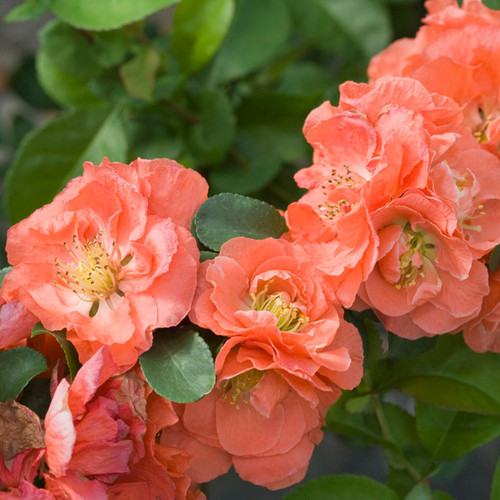 Double Take Peach Quince Blooms Up Close