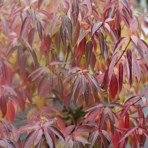 Red Rover Cornus with Red Fall Colors
