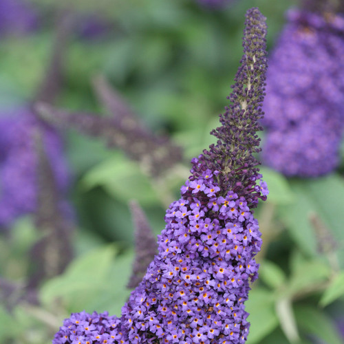 Pugster Blue Butterfly Bush with Large Blue Blooms