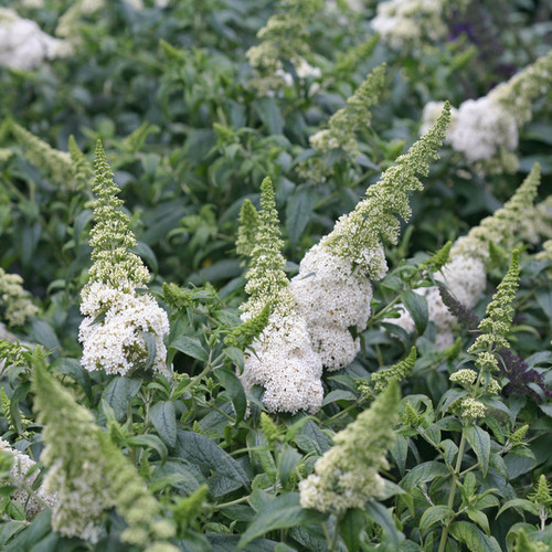 Pugster White Buddleia with White Blooms