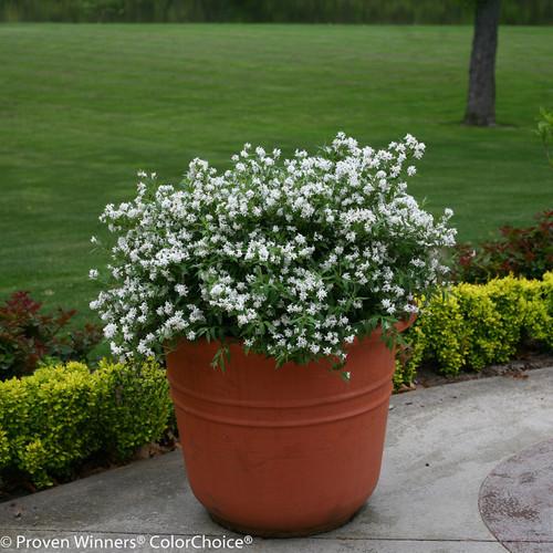 Yuki Snowflake Deutzia in Pot with White Blooms