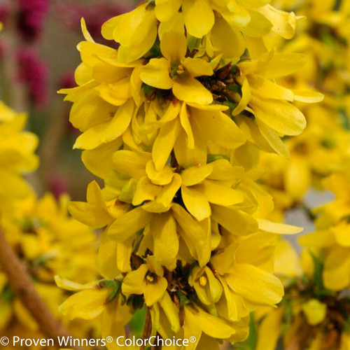 Show Off Starlet Forsythia with Yellow Blooms Up Close