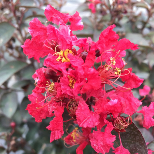 Rikki Tikki Rouge Crape Myrtle with Red Blooms