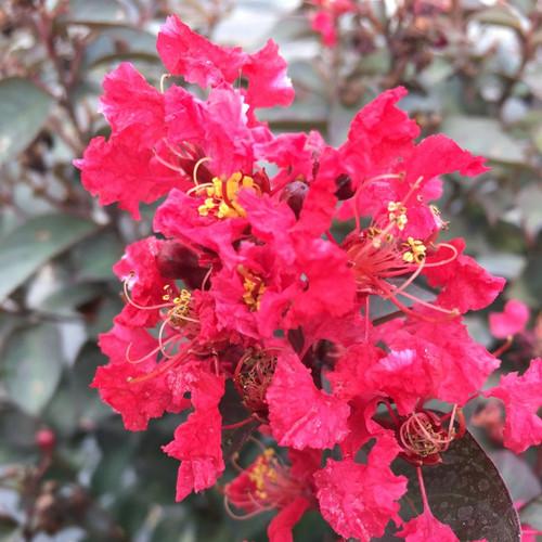 Rikki Tikki Rouge Crape Myrtle with Red Blooms