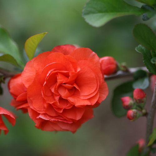 Double Take Orange Quince with Orange Bloom Up Close-