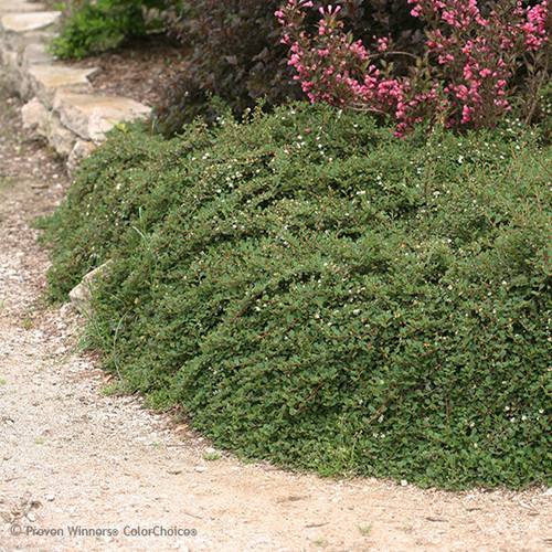 Little Dipper Cotoneaster Groundcover Landscaping
