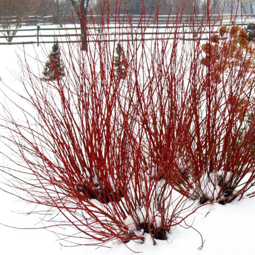 Arctic Fire Dogwood Red Twiggs in Winter