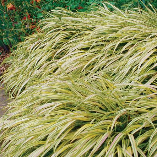 Aureola Golden Variegated Japanese Forest Grass