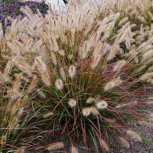 Prairie Winds Desert Plains Fountain Grass up Close