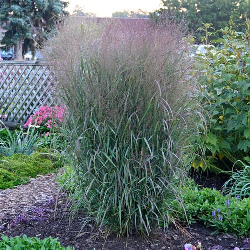 Prairie Winds Apache Rose Switch Grass in Landscape