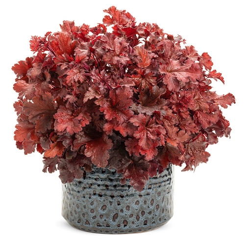 Dolce Cherry Truffles Coral Bells in Pot