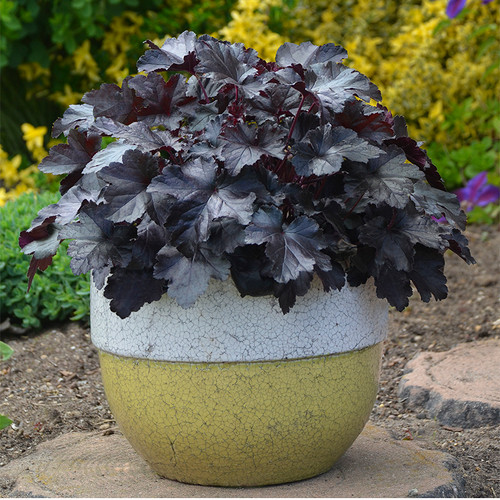 Primo Black Pearl Coral Bells in Container