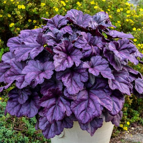 Heuchera Dolce Wildberry with Purple Foliage