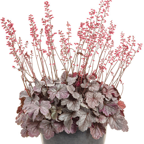 Dolce Silver Gumdrop Coral Bells in Container