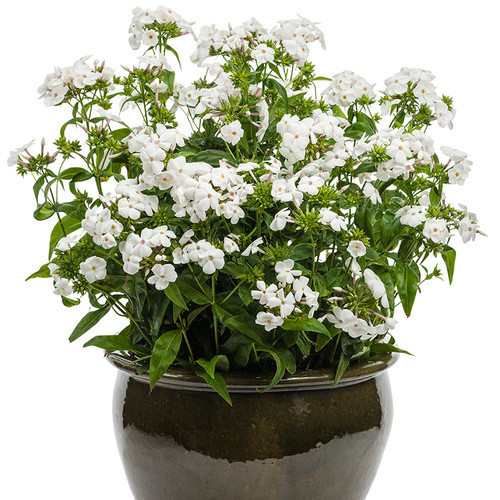 Opening Act White Phlox in a Pot