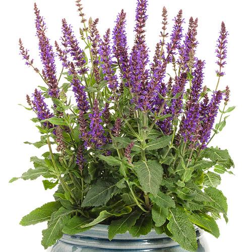 Color Spires Violet Riot Salvia Blooming in Pot