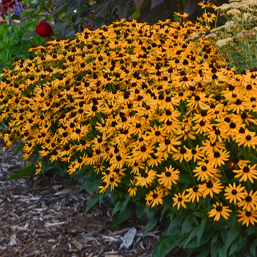 Little Goldstar Black-Eyed Susan with Yellow Blooms