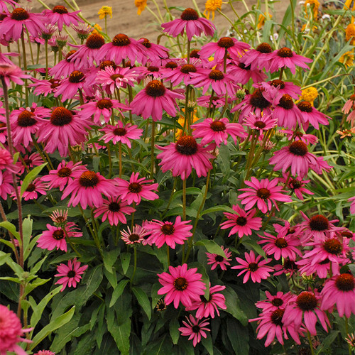 Butterfly Purple Emperor Coneflower with Magenta Purple Blooms