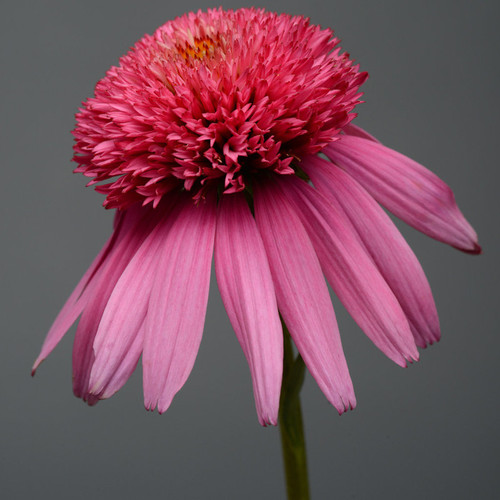 Double Scoop Bubble Gum Coneflower Pink Bloom Up Close