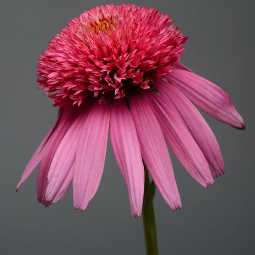 Double Scoop Bubble Gum Coneflower Pink Bloom Up Close