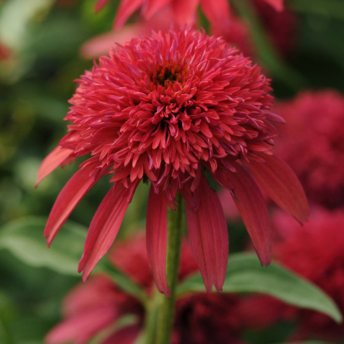 Double Scoop Cranberry Coneflower Red Bloom Up Close