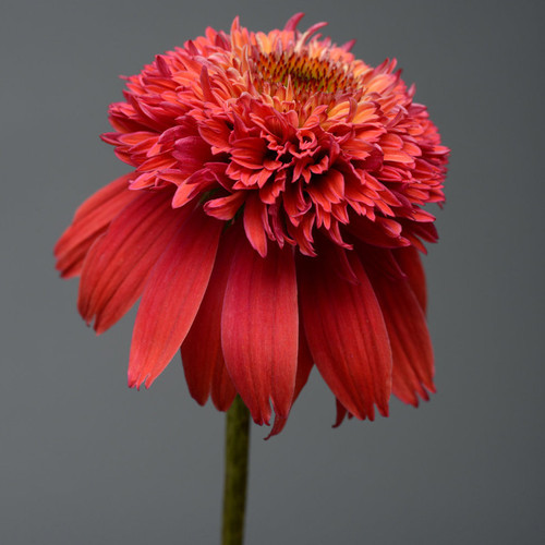 Double Scoop Orangeberry Coneflower Red Bloom Up Close