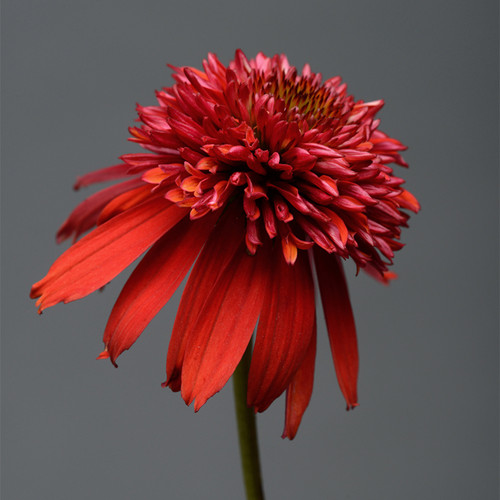 Double Scoop Raspberry Coneflower Red Bloom Up Close