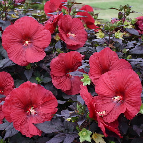 Summerific Holy Grail Hibiscus with Red Blooms