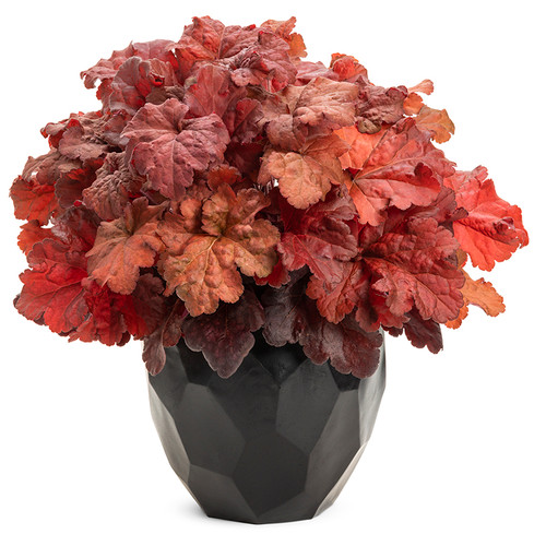 Primo Mahogany Monster Coral Bells in Planter