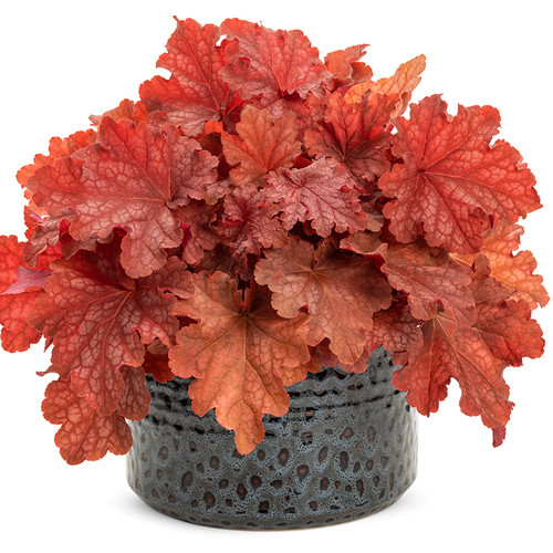 Primo Peachberry Ice Coral Bells in Planter
