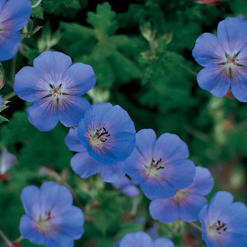 Rozanne Hardy Geranium Blooming