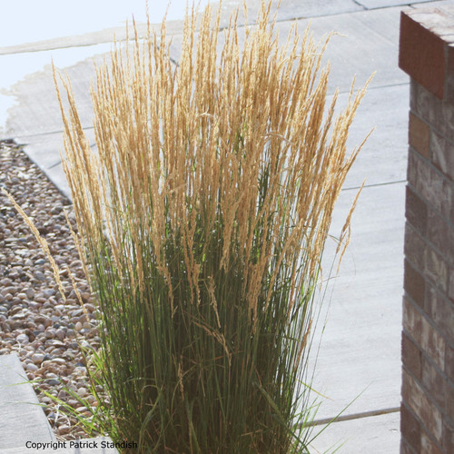 Karl-Foerster-Feather-Reed-Grass-by-Driveway