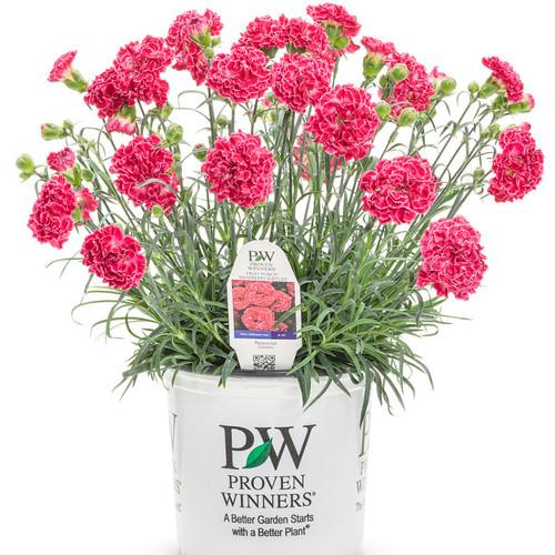 Fruit-Punch-Raspberry-Ruffles-Pinks-Dianthus-in Branded-Pot