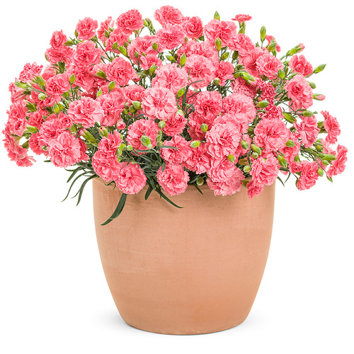 Fruit Punch Classic Coral Pinks Dianthus with Pink Blooms in Container