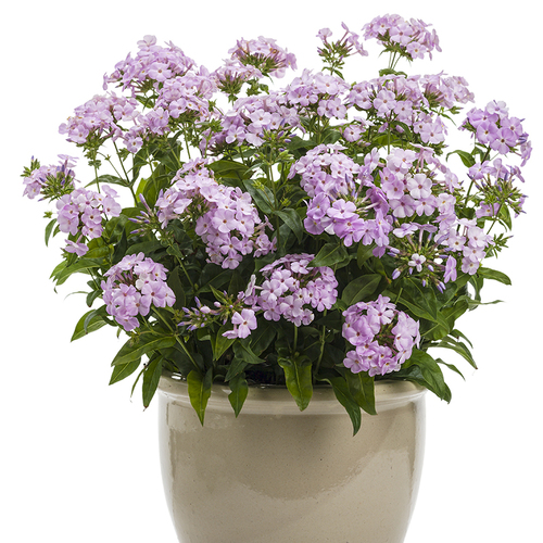 Opening Act Blush Phlox wit h Pink Blooms in Pot