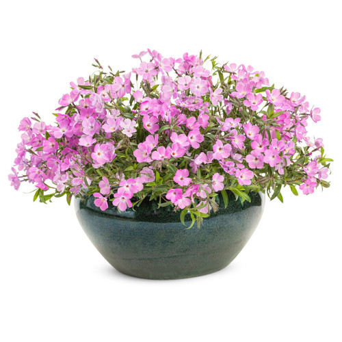 Rose Sprite Phlox with Pink Blooms in Planter