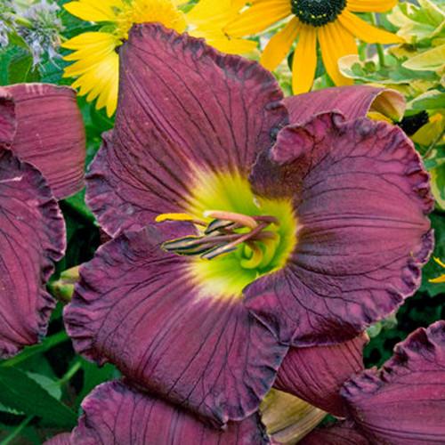 Rainbow Rhythm Nosferatu Daylily with Dark Purple Bloom