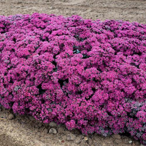 Rock 'N Round® Superstar Stonecrop Sedum Plants Blooming
