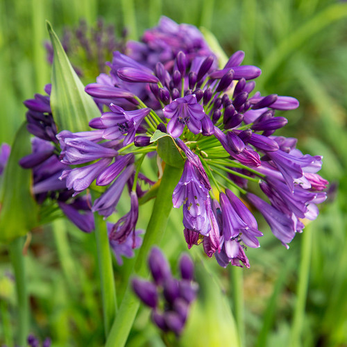 Purple Ever Amethyst Agapanthus Flowers Main