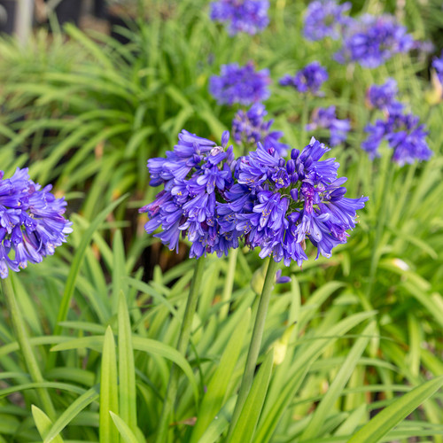 Ever Midnight Agapanthus Plants Blooming Main