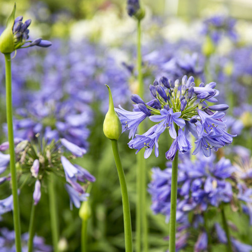 Ever Sapphire Agapanthus Plants Blooming Main