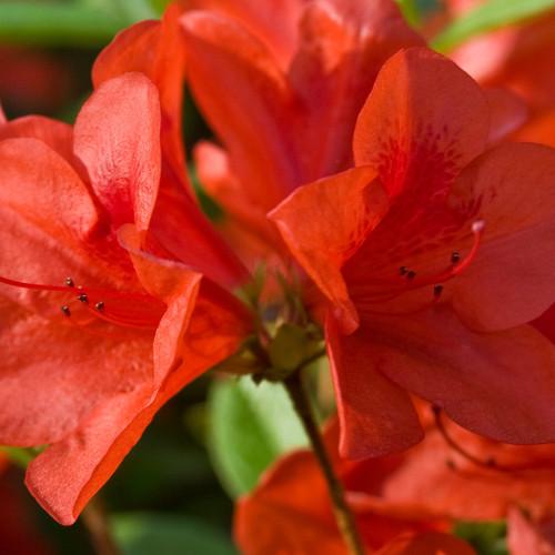 Autumn Bravo Encore Azalea Flower Close Up Main