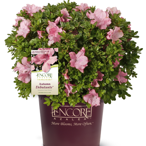 Autumn Debutante Encore Azalea in Branded Pot Main