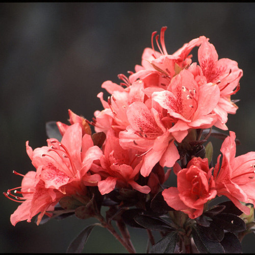 Girard's Fashion Evergreen Azalea Flower