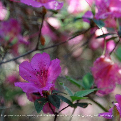 Formosa Azalea Flowers