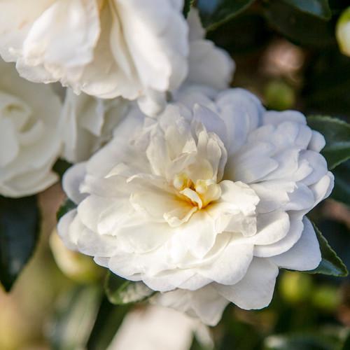 White October Magic Bride Camellia Flower Main