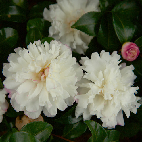 White October Magic Snow Camellia Flowers Main