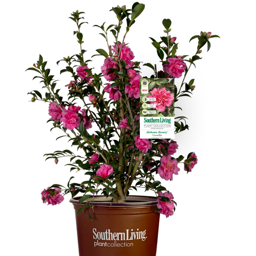 Alabama Beauty Camellia in Branded Pot Main