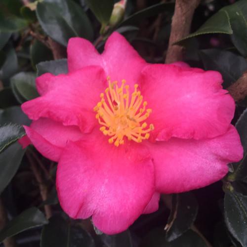 Kanjiro Camellia Pink Bloom