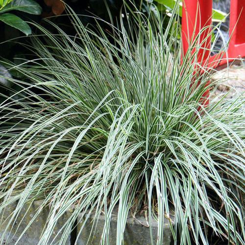 EverColor Everest Carex Sedge Grass Main